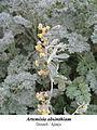 Artemisia absinthium 2.jpg