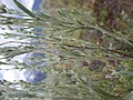 Artemisia arbuscula (9374179710).jpg