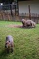 Artis Capybaras (3562843067).jpg