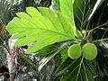Artocarpus altilis (11034012255).jpg