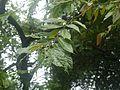 Asali (Konkani- असळी) (4801880051).jpg
