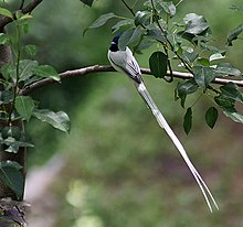 Asian Paradise Flycatcher- Male at Himachal I4 IMG 3011.jpg