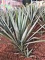 Asparagales - Agave tequilana - 2.jpg
