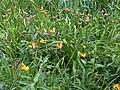 Asparagales - Hemerocallis fulva - 4.jpg