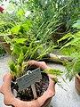 Asparagus setaceus - Copenhagen Botanical Garden - DSC08016.JPG