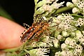 Assassin Bug - Pselliopus cinctus, Meadowood Farm SRMA, Mason Neck, Virginia.jpg