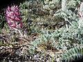 Astragalus mollissimus var. mogollonicus (24048918115).jpg
