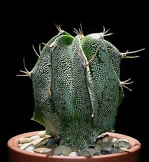 Astrophytum ornatum - Image: Astrophytum ornatum 5