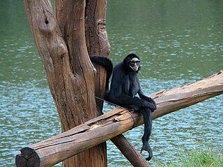 White-cheeked spider monkey species of mammal