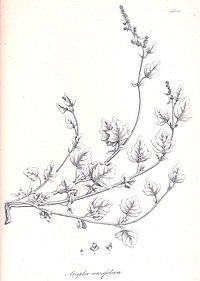 Atriplex crassifolia cropped.jpg
