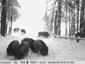 Attachwild boars walk in the forest.png