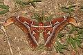 Attacus athlas (Saturniidae) (4190787725).jpg