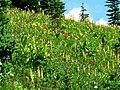 Aug 2008. Lousewort, paintbrush, lupine, etc. (6a13d5532b86427d8f455334010d7111).JPG