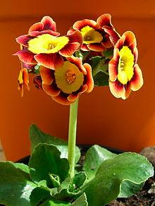 Primrose Primula Details Encyclopedia Of Life
