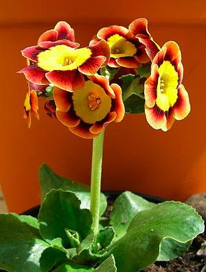 Primula auricula - An auricula cultivar