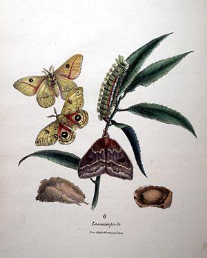 Titian Peale - Automeris io 1833