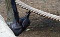 Bébé gorille (5958646990).jpg