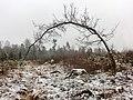 Böjd ek på Skattegårdens utmark, Sörby sn 9690.jpg