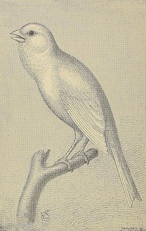 Harz Roller - Zeichnung eines Harzer Roller aus Canary birds – how to breed for profit or pleasure