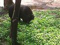 Baby bear Nehru zoological park.jpg