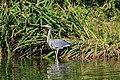 Baden-Baden 10-2015 img14 Hector Berlioz Park Grey heron.jpg