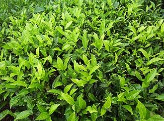 Badulla - Image: Badulla tea