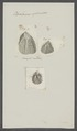 Balanus spinosus - - Print - Iconographia Zoologica - Special Collections University of Amsterdam - UBAINV0274 101 02 0011.tif