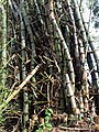 Bambus blumean 170107-0134 jtg.JPG