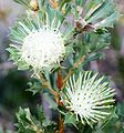 Banksia sessilis inflorescences, before and after anthesis.jpg