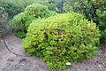 Banksia spinulosa - UC Santa Cruz Arboretum - DSC07436.JPG