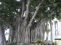 Banyan tree Old Lee County Courthouse.jpg