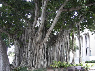 Aerial root - Banyan tree of undetermined species in Fort Myers, Florida