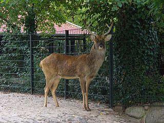 <i>Rucervus</i> A genus of mammals belonging to the deer, muntjac, roe deer, reindeer, and moose family of ruminants