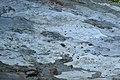 Bark . Eucalypyus (31677201480).jpg
