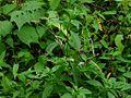 Barleria montana (2933377523).jpg