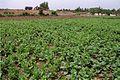 Basella Alba Field 20020400 1.jpg