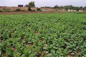 Basella alba, or Malabar spinach (also Pooi le...