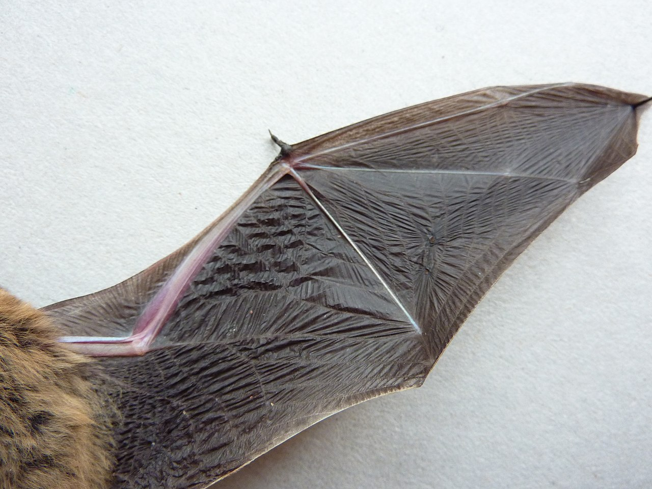Bat Wings File:bat-wing underside.jpg