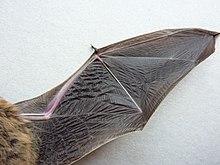Bat-wing underside.jpg