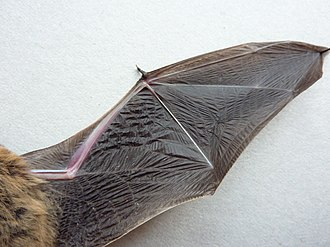 Bat flight - A bat wing, which is highly modified forelimb