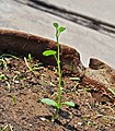 Bauhinia acuminata plantlet 20042014.jpg