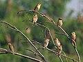 Baya Weaver (Ploceus philippinus) W IMG 4934.jpg