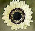 Beautiful Daisy (Easter Greetings) - Flickr - Swami Stream.jpg