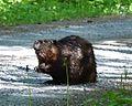 Beaver striking a pose.jpg