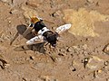 Bee Flies (Bombomyia discoidea) mating (12750055933).jpg
