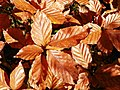 Beech (Fagus sylvatica) autumn leaves (8251708423).jpg
