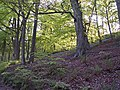 Beech and Bluebells in Lee Wood, Hebden Bridge - geograph.org.uk - 431934.jpg