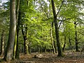 Beech woodland in Bignell Wood, Wittensford, New Forest - geograph.org.uk - 260919.jpg