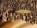 Beetle Larva (31438891560).jpg