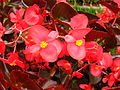 Begonia semperflorens (red ) 01.jpg